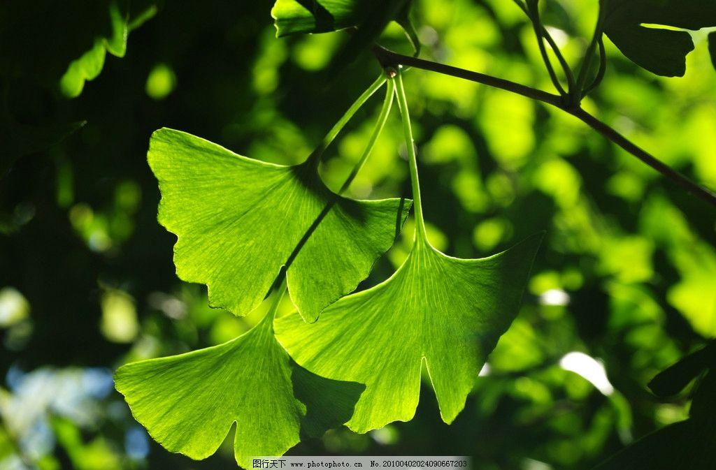 银杏 绿叶 自然 银杏素材 自然风光 自然景观 设计 300dpi jpg