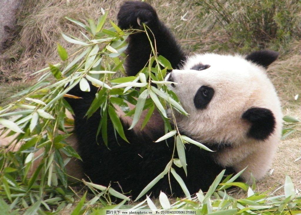 熊猫 大熊猫 野生动物 生物世界 摄影 72dpi jpg