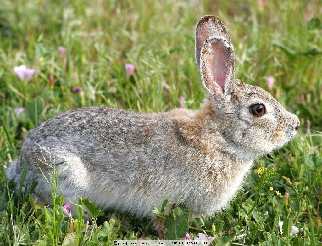 灰兔 兔子 野兔 兔毛 皮毛 毛皮 野生 动物 生物 小动物 兔 青草 草地