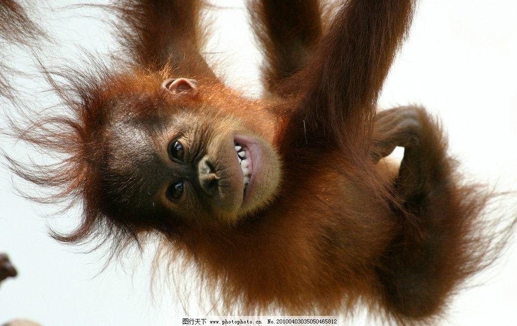 猩猩 猿猴 猴 猿 动物世界 野生动物 生物世界 摄影 180dpi jpg
