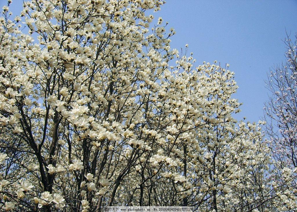春天的玉兰树图片
