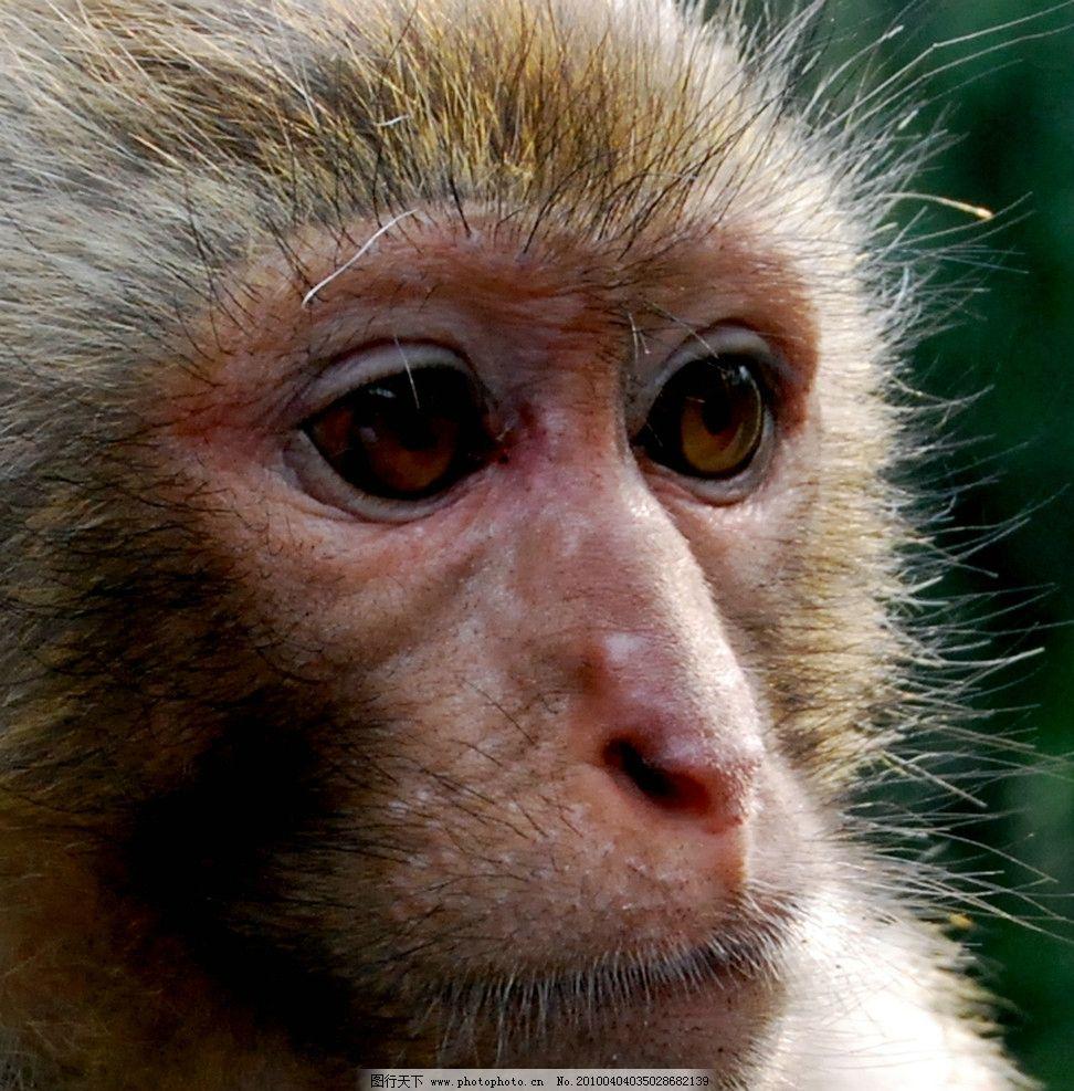 猕猴脸谱 猕猴 脸谱 表情 眼神 野生动物 生物世界 摄影 300dpi jpg