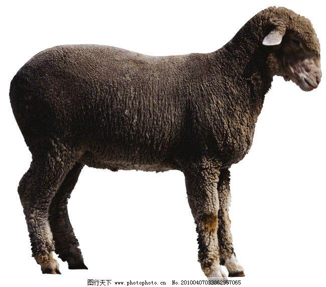 羊 绵羊 家畜 动物 图片