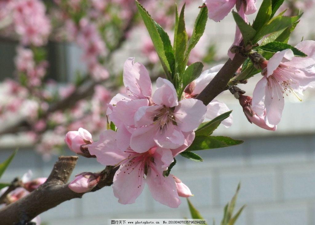 三月桃花 桃花 三月 春天 景色 美丽 花卉 近景 花草 生物世界 摄影