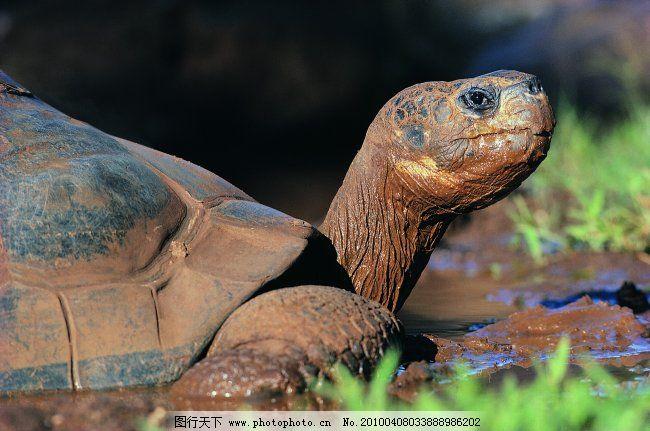 乌龟 爬行动物 动物 图片