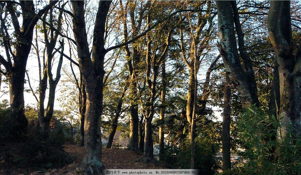 红豆树图片
