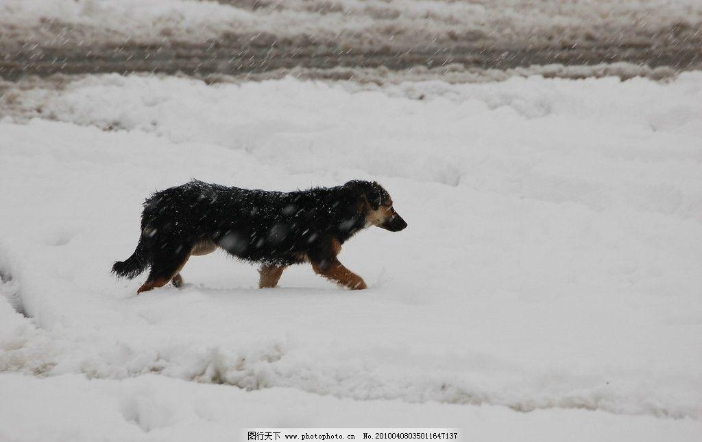 雪地里狗 雪景 大雪 雪地 狗 fenghc的摄影 动物篇 野生动物 生物世界