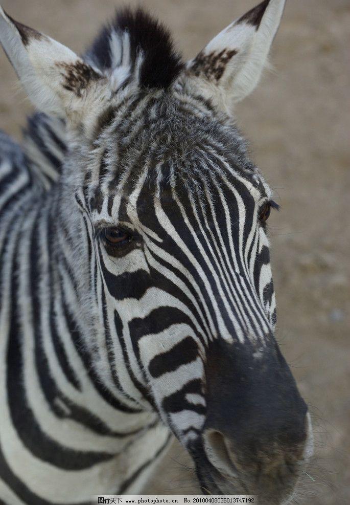 斑马 动物园里的斑马头 动物园里的动物 野生动物 生物世界 摄影 72