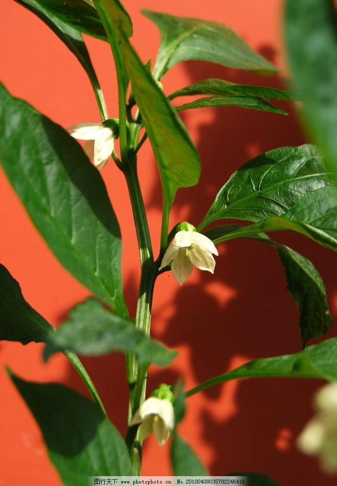 辣椒花 大自然 景观 景象 生物 植物 花草 花卉 树叶 阳光 生物世界