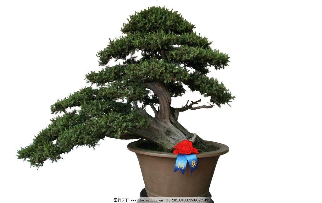 树桩盆景柏 照片 盆景 树木树叶 生物世界 摄影 72dpi jpg
