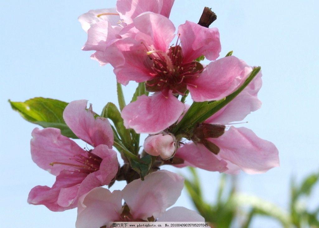 桃花 春之桃花 北京春天桃花 众联摄影 花草 生物世界 摄影 72dpi jpg