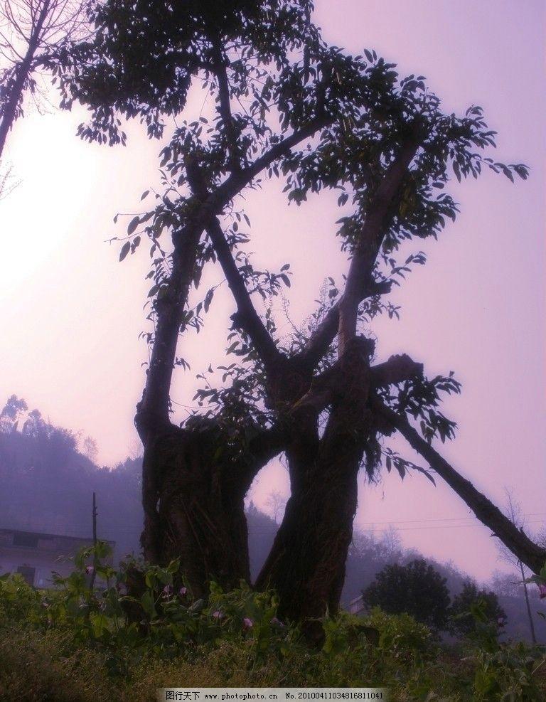 老树 自然 树 豌豆花 自然风光 自然风景 自然景观 摄影 72dpi jpg