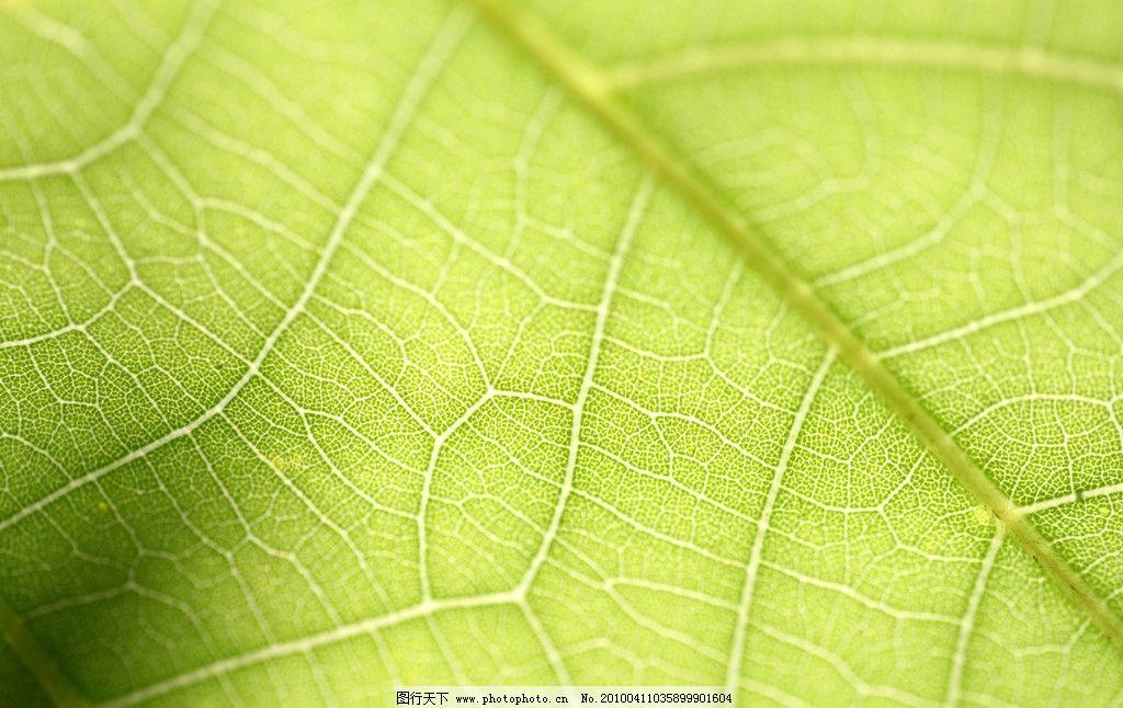 树叶 大自然 景观 景象 生物 植物 树纹 树木树叶 生物世界 摄影 72