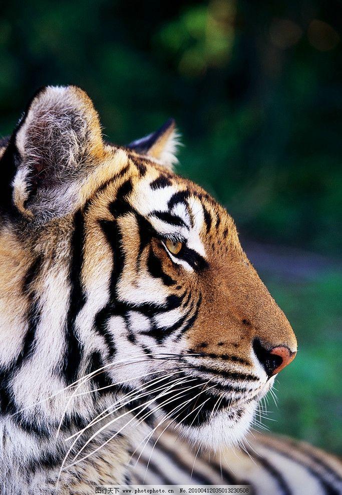 老虎 野生动物 生物世界 摄影 300dpi jpg