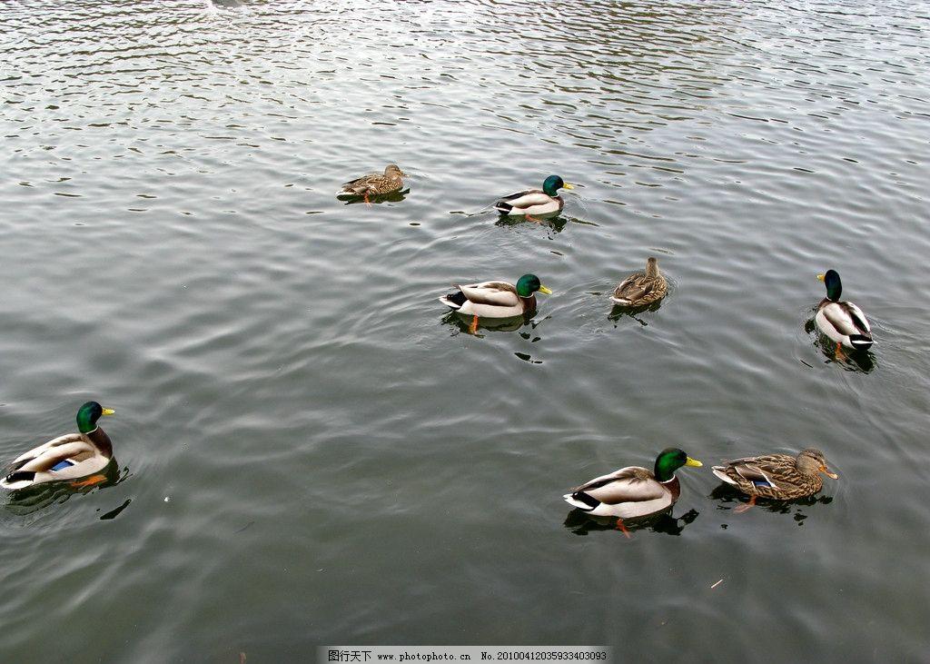春天与水鸭 自然 景观 景象 生物 动物 湖泊 池塘 河流 鸭群 戏水