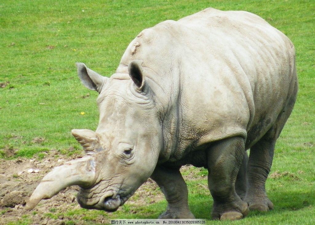 犀牛 野牛 水牛 牛角 野生动物 动物 生物 草地 犀牛角 生物世界 摄影