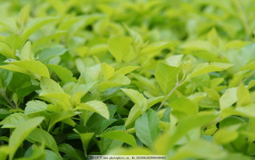 茶叶 茶林 茶树 绿色植物 摄影