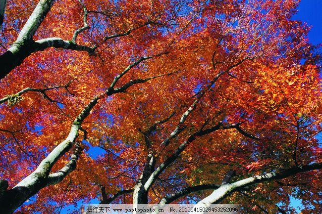 枫叶 森林 树林 树木 枫叶 树木 森林 树林 图片素材 风景|生活|旅游