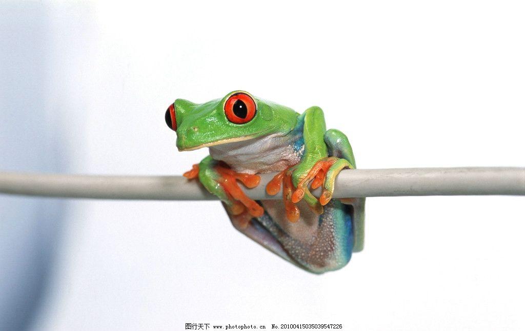 树蛙 青蛙 树枝 野生动物 两栖动物 保护动物 人类的朋友 蛙类 动物
