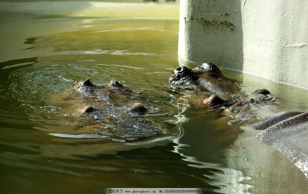 河马 自然 景观 景象 生物 动物 湖泊 河流 野生动物 野生动物 生物