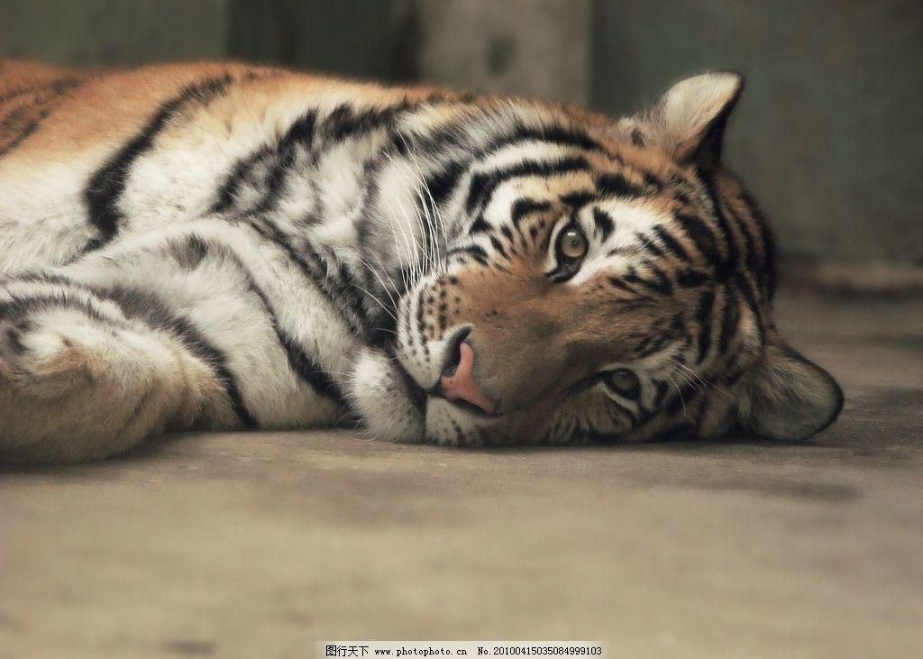 老虎 东北虎 野生动物 生物世界 摄影