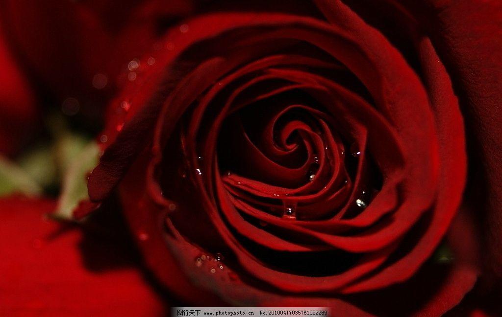 玫瑰花 红花 水滴 露水 花瓣 花草 生物世界 摄影 350dpi jpg