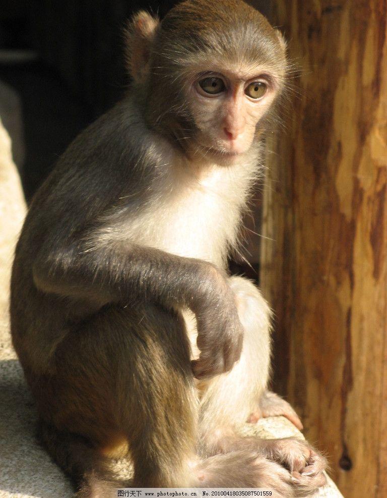 深沉的猴子 猴子 可爱 静态 野生动物 生物世界 摄影 180dpi jpg