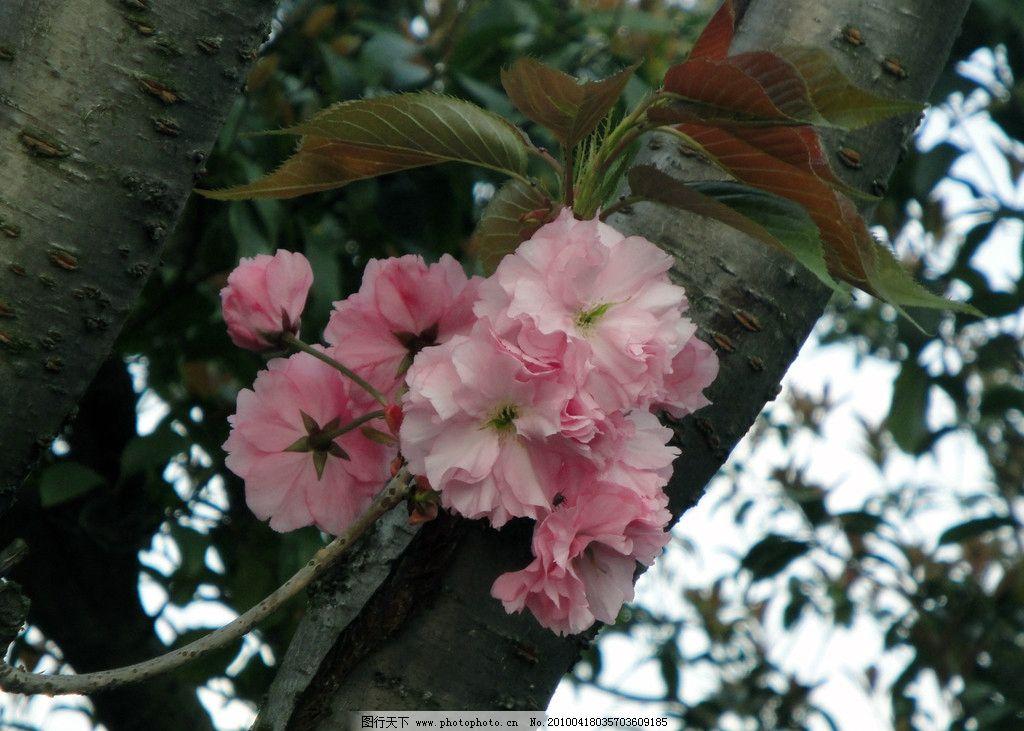 苏州 樱花 桃花岛 金鸡湖 花草 生物世界 摄影 72dpi jpg