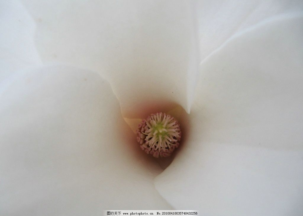 花蕊 清爽 清新 白色 纯色 玉兰花 壁纸 花朵 花草 生物世界 摄影 180