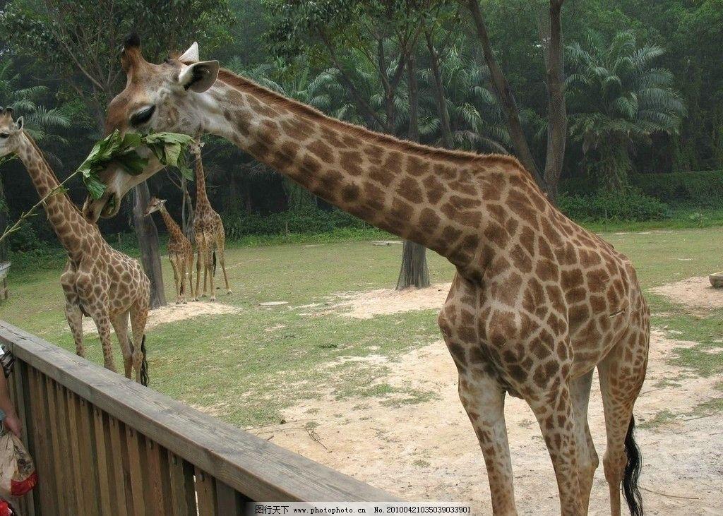 番禺长隆动物园 长劲鹿图片