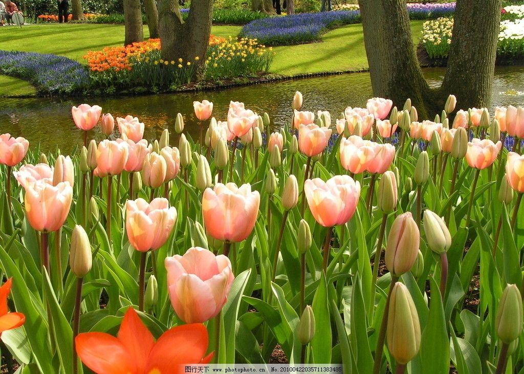 荷兰国花 郁金香 荷兰 国花 盛开 绽放 色彩丰润 艳丽 美丽 漂亮 受人