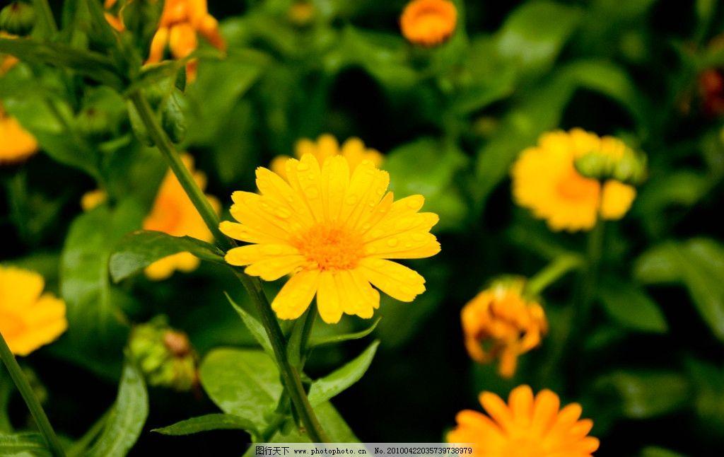一朵黄花图片
