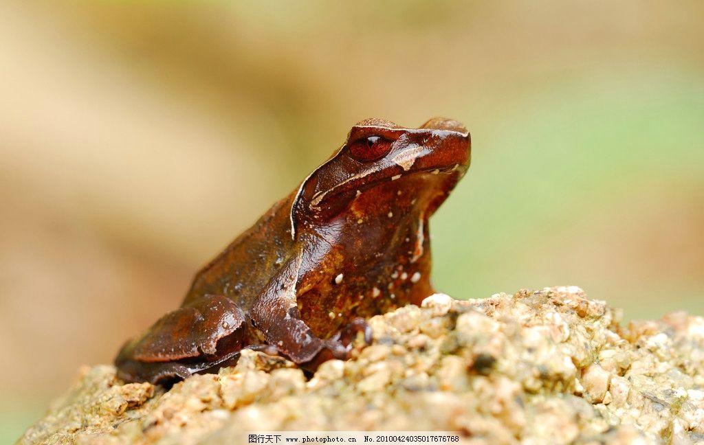威武的角蟾 青蛙 虫子摄影 野生动物 生物世界