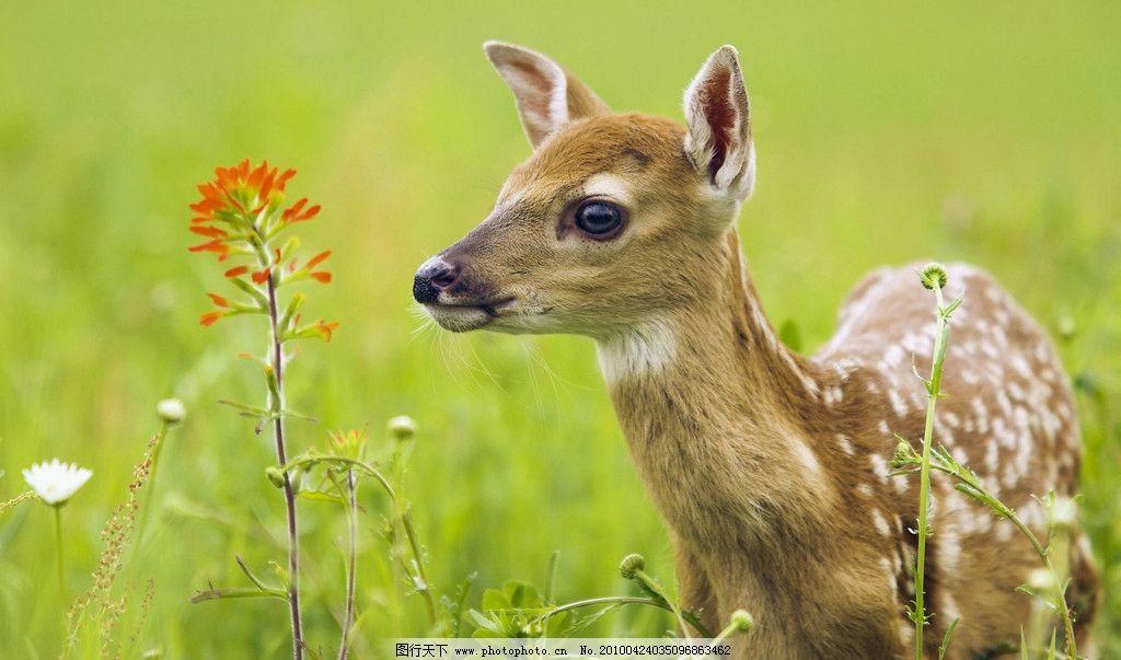 梅花鹿 一只 草地 花儿 大眼睛 动物 摄影