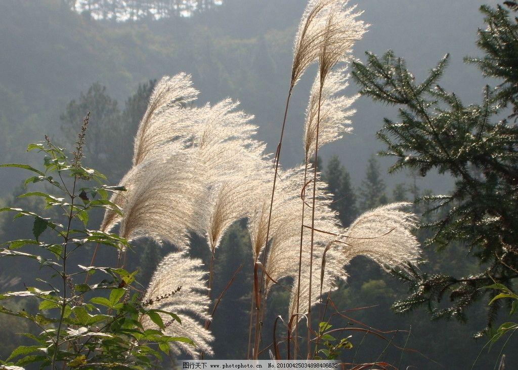 芦苇 自然风景 自然景观 摄影 72dpi jpg