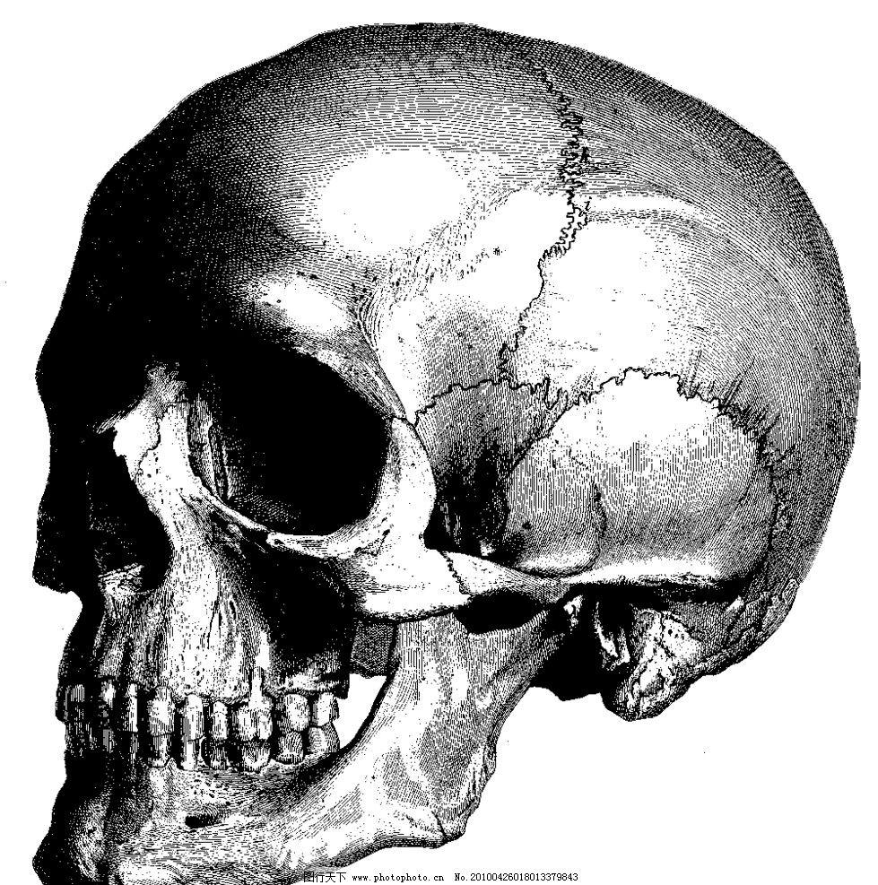 人体头骨侧面 医学 解剖 骨科 法医 人体 骷髅 头骨 正面 五官 面部