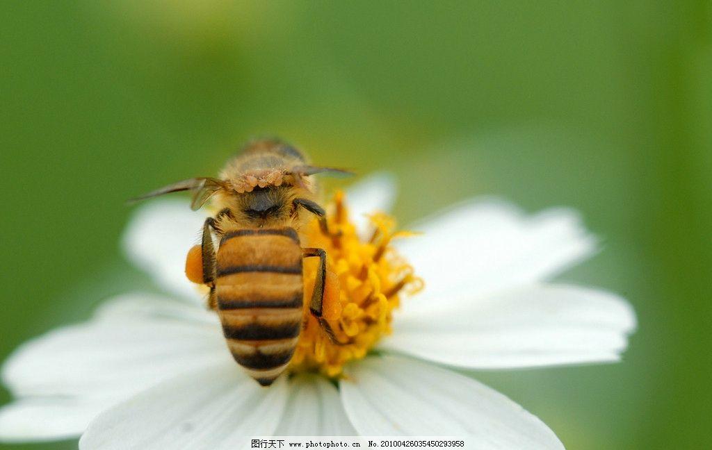 蜜蜂 采蜜 昆虫 春天 勤劳 虫子 生物世界 摄影 300dpi jpg