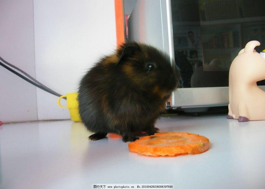 可爱的荷兰猪图片