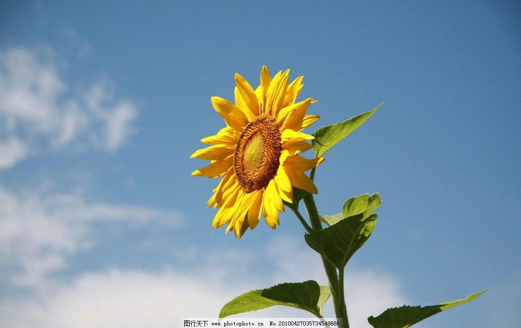 太阳花 向日葵 大自然 景观 景象 生物 植物 天空 云彩 花草 花卉