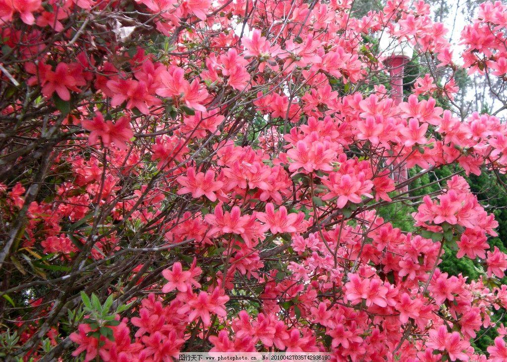 杜鹃花 大自然 景观 景象 生物 植物 田野 田园 花草 花卉 树木 树叶