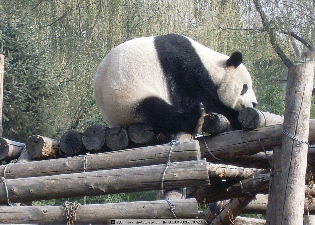 国宝熊猫 熊猫 野生动物 生物世界 摄影 96dpi jpg