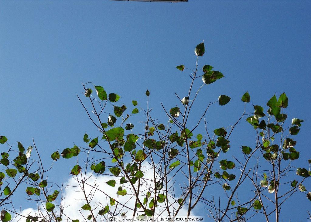 蓝天 绿叶 白云 旅游 景观 景象 天空 云彩 花草 树叶 云层 云朵 蓝天