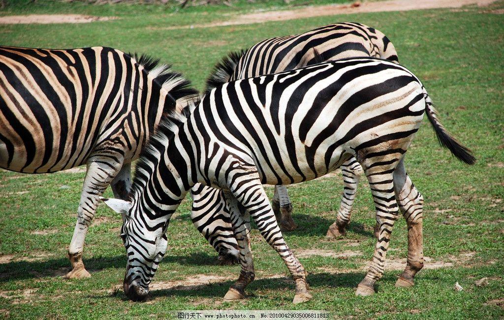 斑马 野生动物 动物 马 长隆野生动物园 草地 生物世界 摄影 300dpi