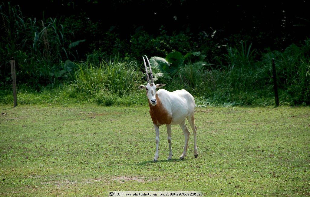 羚羊 野生动物 动物 羊 长隆野生动物园 草地 植物 生物世界 摄影 300