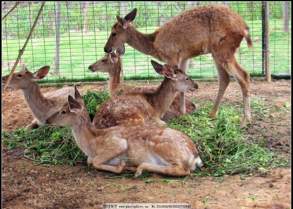 长颈鹿 鹿 梅花鹿 动物世界 动物大全 野生动物 生物世界 摄影 180dpi