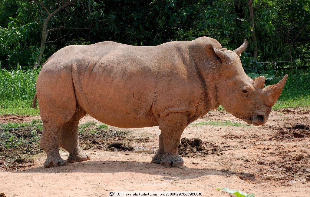 犀牛 野生动物 动物 牛 长隆野生动物园 生物世界 摄影 300dpi jpg