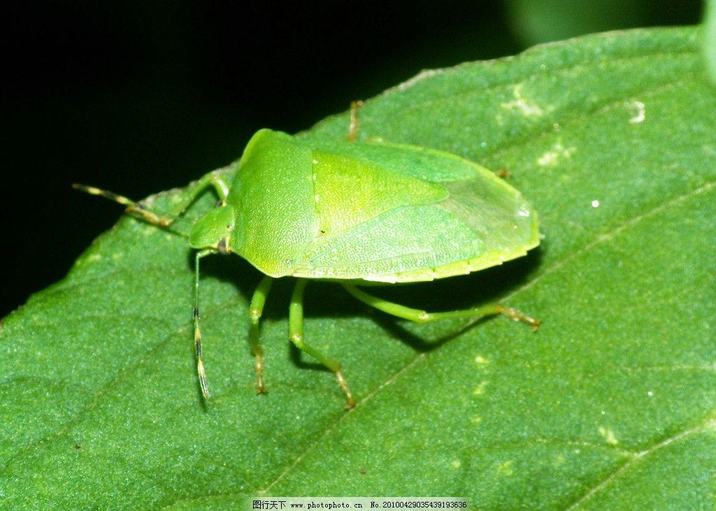 稻绿椿象 触角 口器 花纹 生物 昆虫 动物 植物 绿 绿色 绿叶 奇妙的