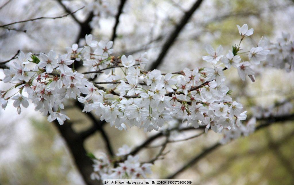 樱花特写 樱花 樱花树 春天 太子湾的樱花树 摄影作品 花草 生物世界