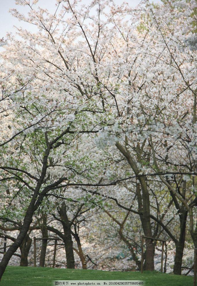 樱花树 樱花 春天 太子湾的樱花树 摄影作品 花草 生物世界 摄影 72