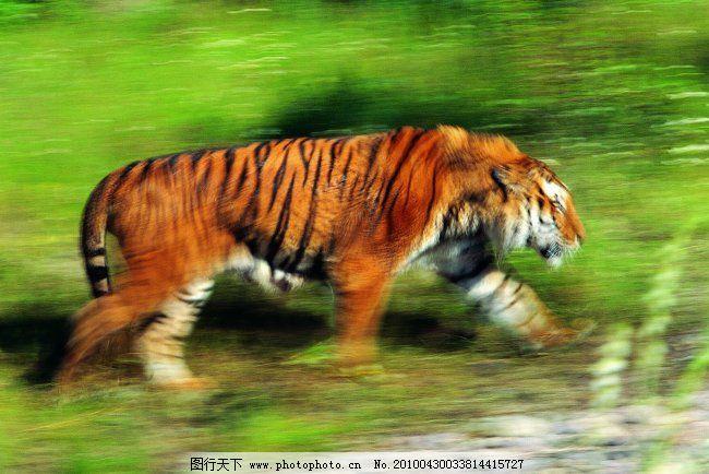 稀有动物 动物 老虎 老虎图片